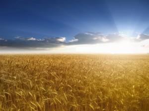 sunlightwheatfield