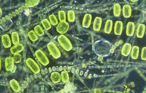 biotic_interactions_phytoplankton_imr_400px