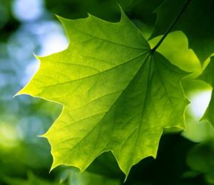green_leaf-med